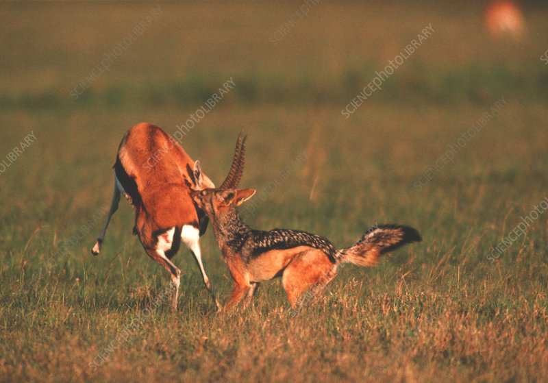 Jackal attacking gazelle