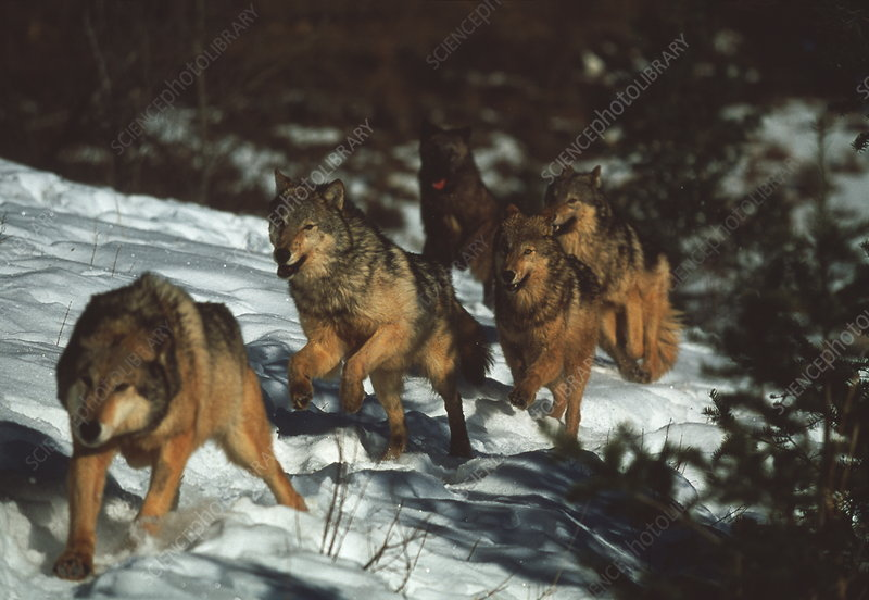 Pictures Of Wolves In The Snow. Grey wolves
