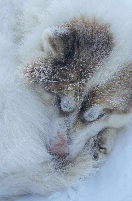 Sleeping husky dog