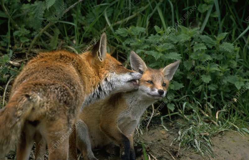 Red fox with cub