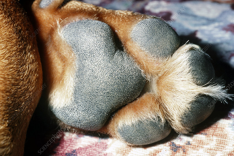 Front paw of a Basset hound mix dog