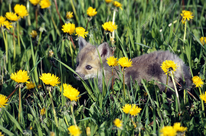 Red Fox pup in dandelions