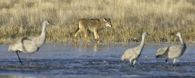 Coyote hunting sandhill cranes
