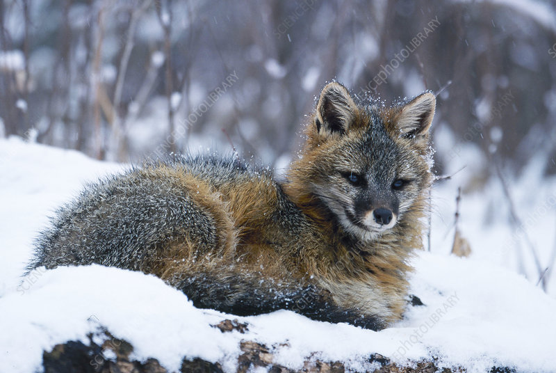 Gray Fox in Winter