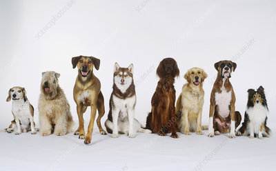 Eight dogs sitting in a row