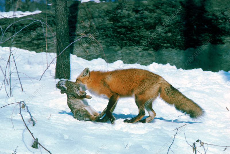 Red Fox with rabbit prey