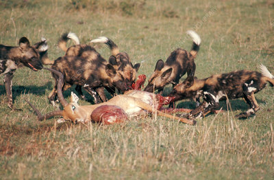 African Hunting Dogs Eating Impala