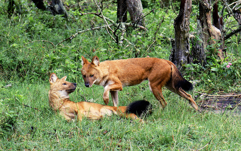 Dholes playing