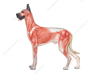 Dog Anatomy - Muscular System