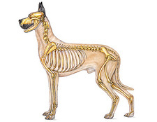 Dog Anatomy - Skeletal System