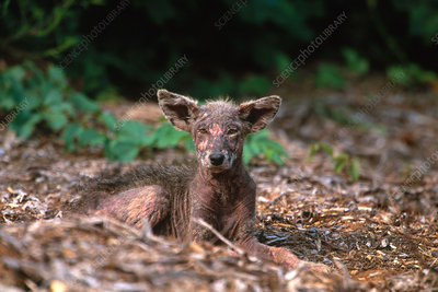 Coyote Pup with Mange