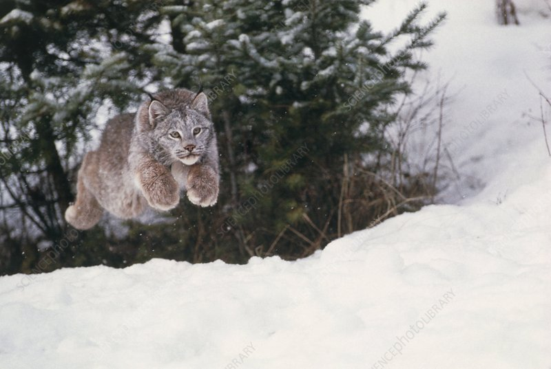 Lynx leaping