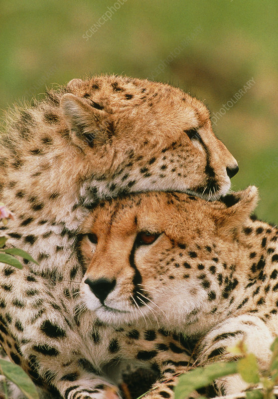 Cheetahs (Acinonyx jubatus) resting head on head