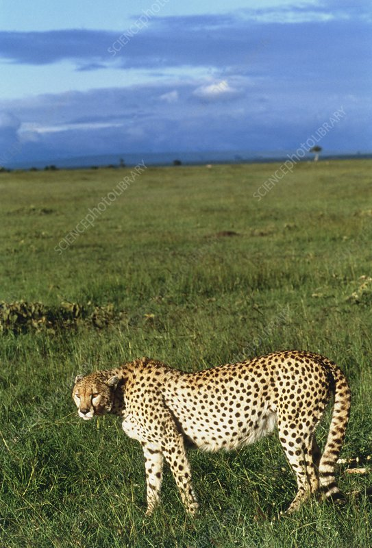 Cheetah (Acinonyx jubatus) walking in grassland