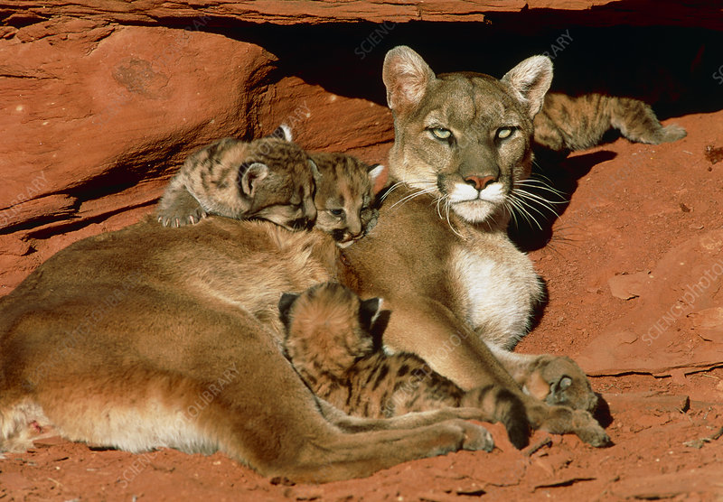 View of a female mountain lion with her kittens