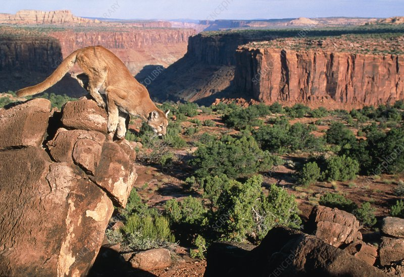 View of mountain lion leaping in a redrock canyon