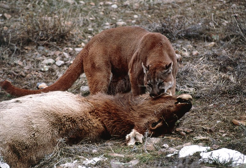 Mountain lion with a kill