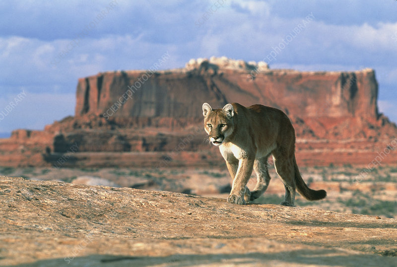 View of a mountain lion walking on slickrock