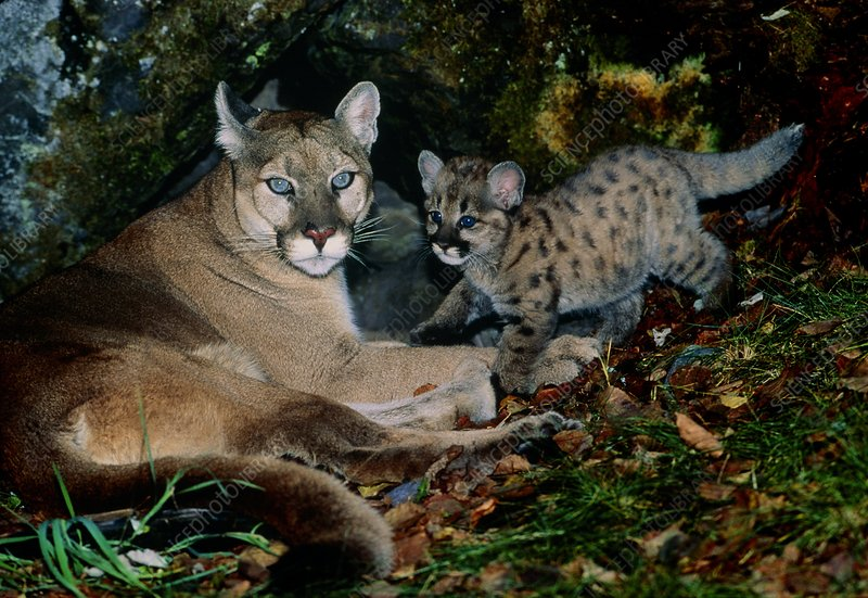 View of a female mountain lion with her kittten