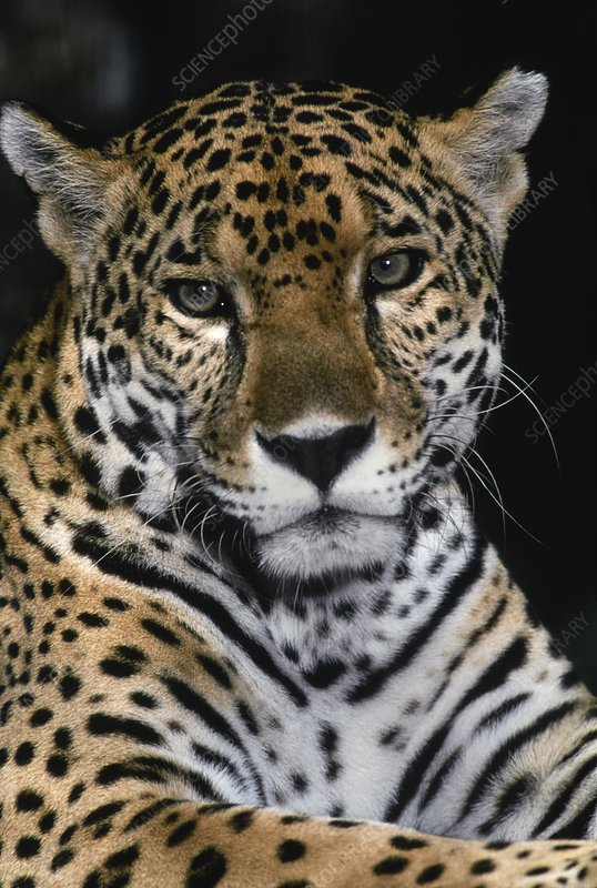 View of the head of a jaguar (Panthera onca)