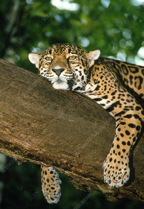 Jaguar resting in a tree in Belize
