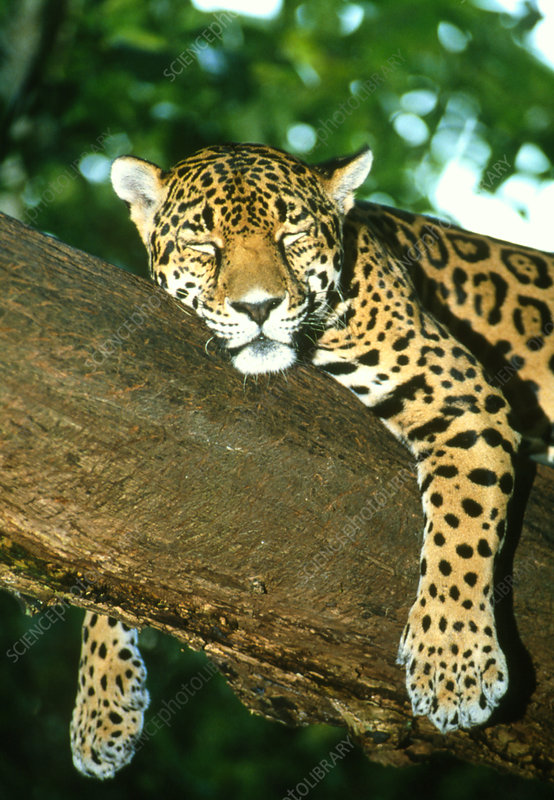 Jaguar sleeping in a tree - Stock Image - Z934/0097 - Science Photo Library
