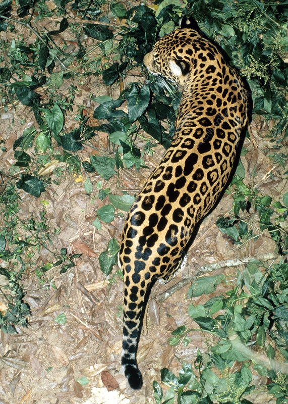 View of a jaguar (Panthera onca) on the prowl