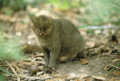 Jaguarundi (Felis yagouaroundi) on forest floor