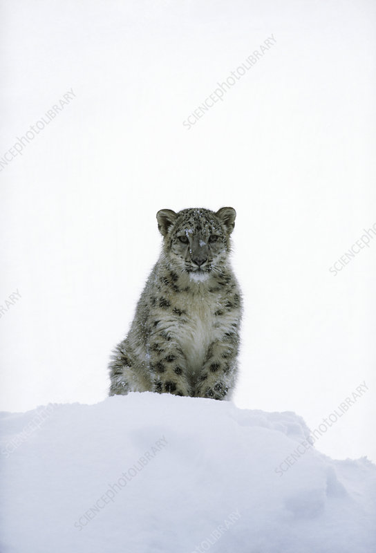 Young snow leopard (Panthera uncia) in snow