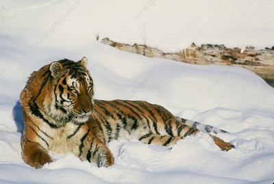 Siberian tiger, Panthera tigris altaica, in snow