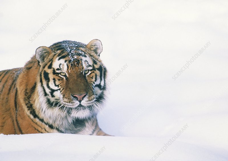 Head of a Siberian tiger, Panthera tigris altaica