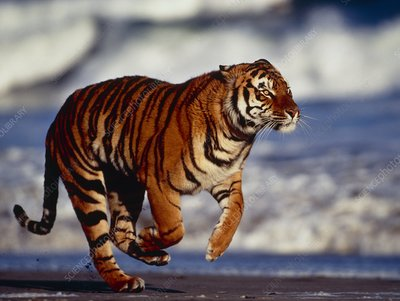 Bengal tiger (Panthera tigris) running on a beach