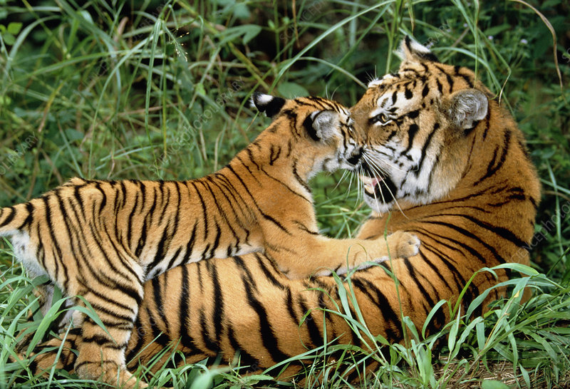 Bengal tiger (Panthera tigris) with her cub