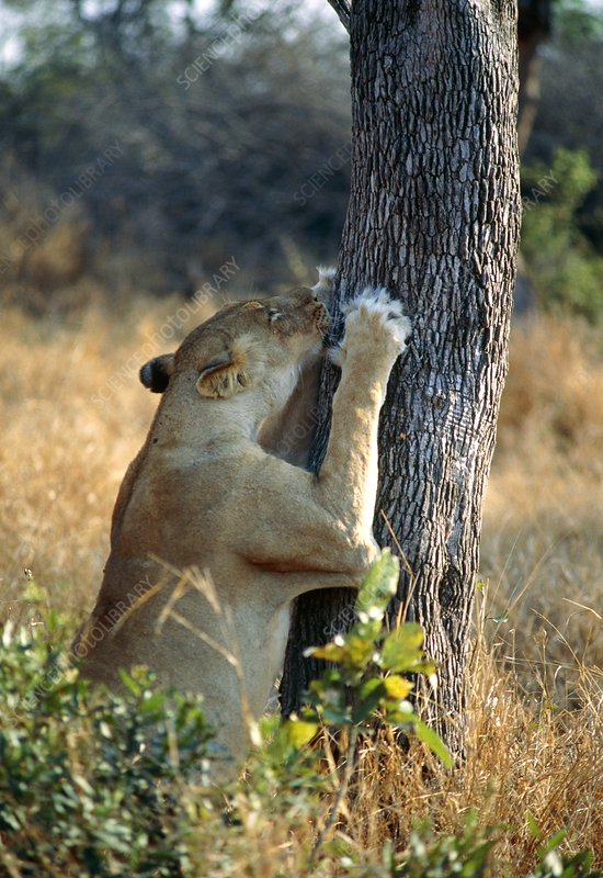 Lioness sharpening claws
