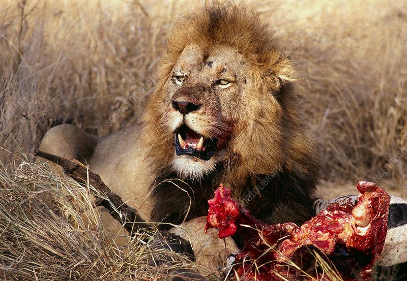 Lion Feeding on Zebra, Maasai Mara,