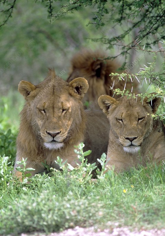 Lions relaxing