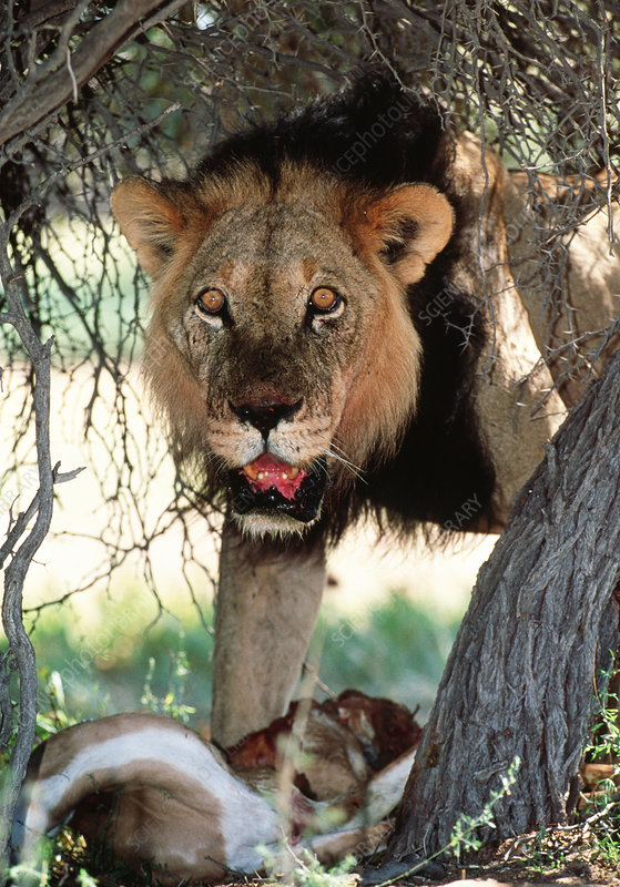 Male lion feeding