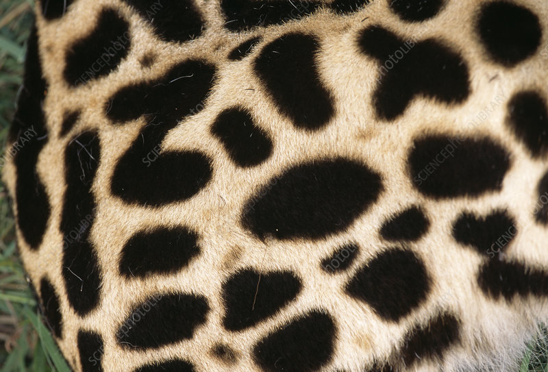 King cheetah coat