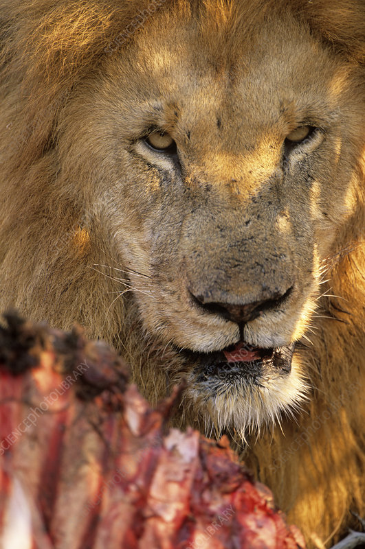 Male lion eating
