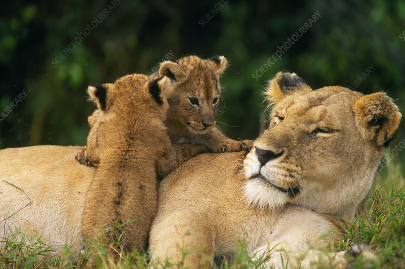 Lion cubs on mother