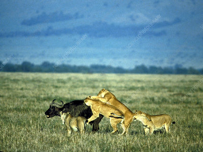 Lionesses attack African buffalo