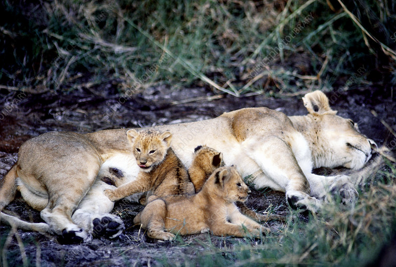 Lioness with 2-week old cubs, Tanzania