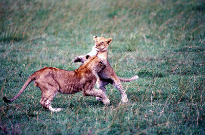 Lion kittens playing