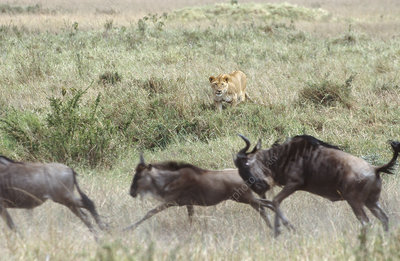 Lion stalking wildebeest