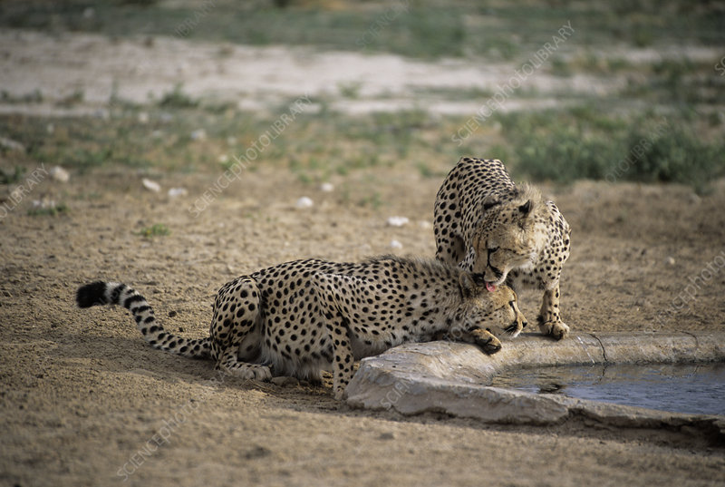 Cheetahs by water
