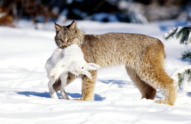 Lynx with Snowshoe Hare