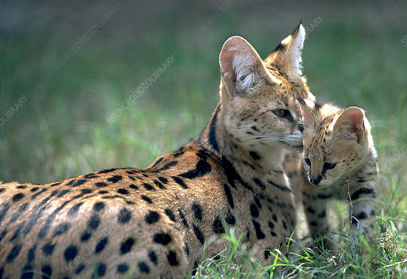 Serval mother with her kitten