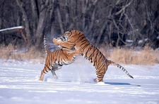 Siberian Tigers fighting in snow