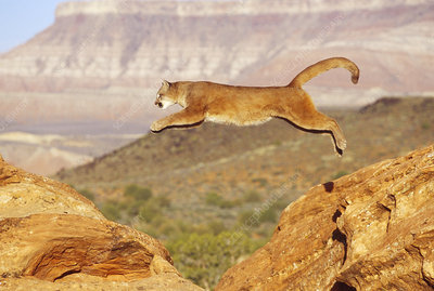 Mountain Lion Leaping