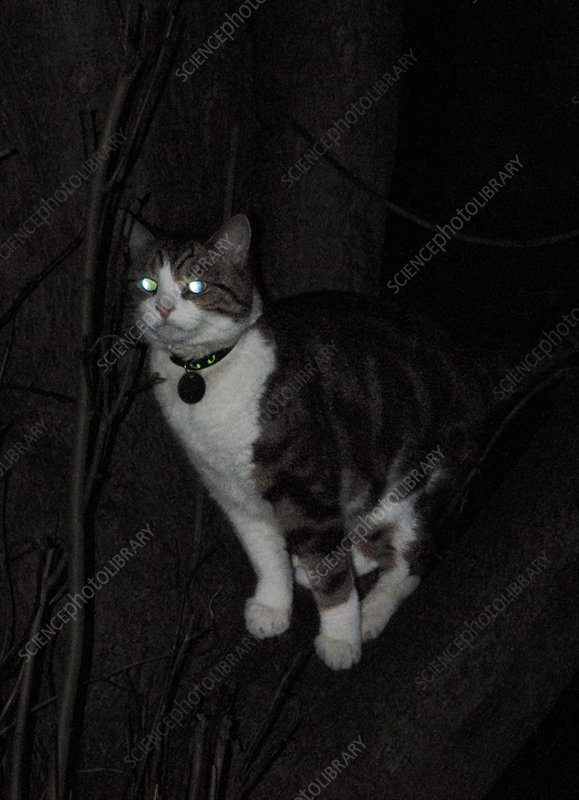Domestic cat at night